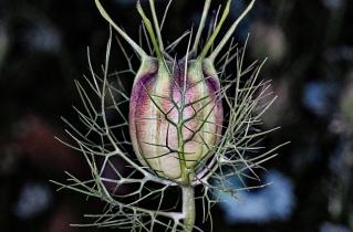 Jungfrun-i-det-gröna-frökapsel